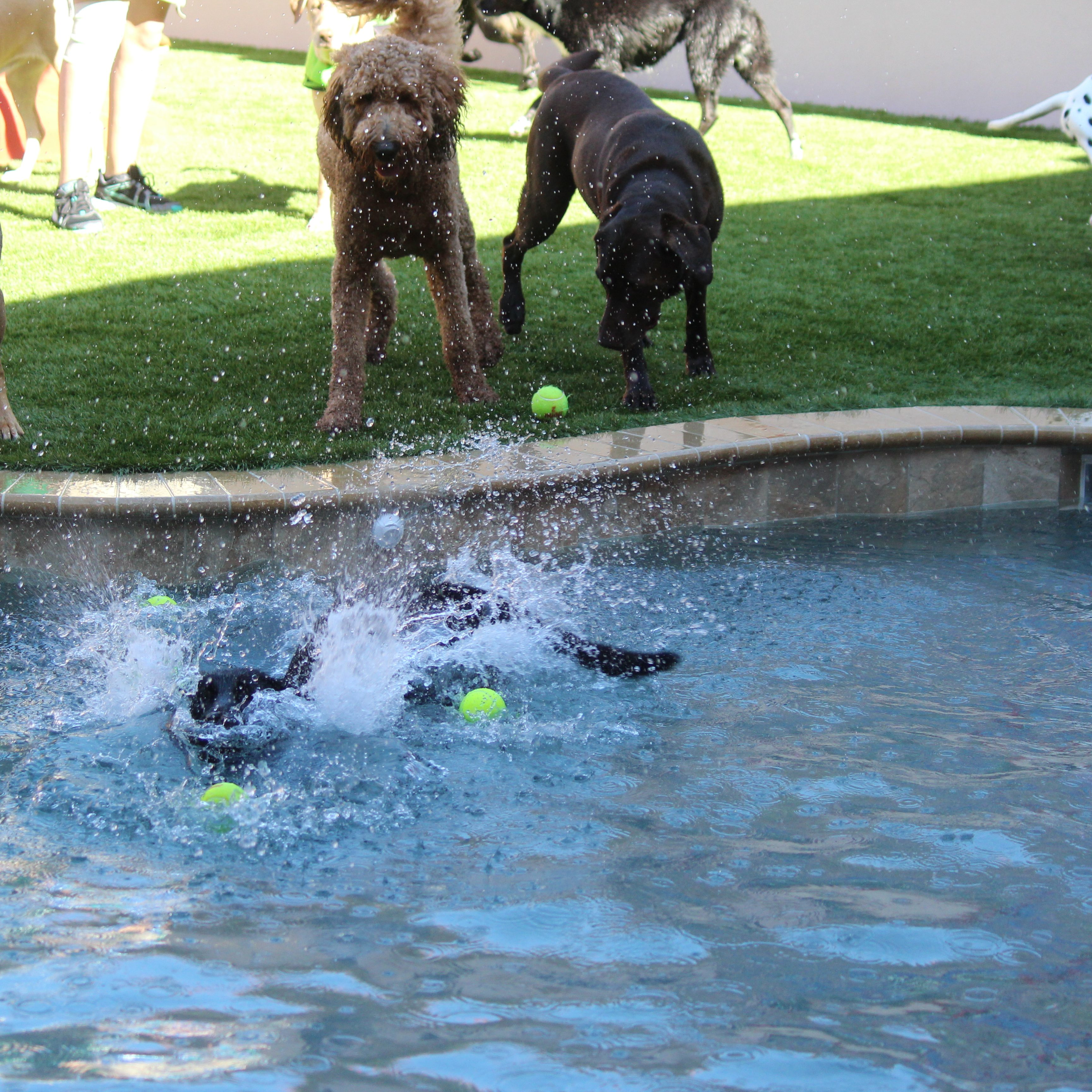 Dogs jumping in pool at Bayside Pet Resort of Osprey