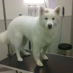 Samoyed professionally groomed at Bayside Pet Resort