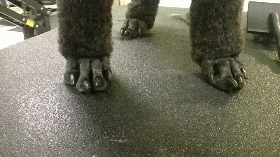 Poodle Feet done by professional dog groomer at Bayside Pet Resort