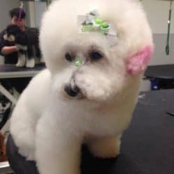 Bichon/Poodle Mix professionally groomed at Bayside Pet Resort