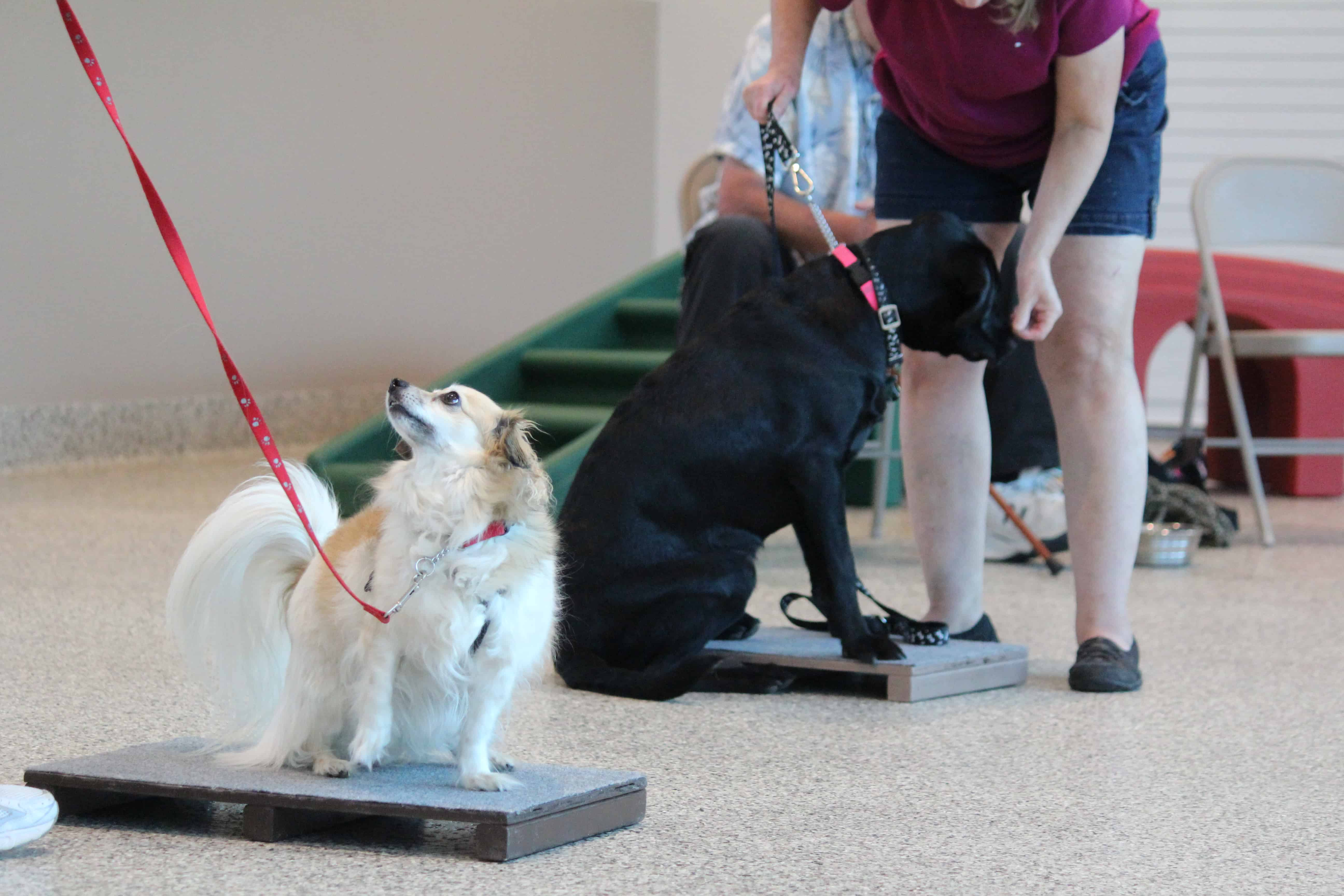 Chihuahua and Lab obedience training at Bayside Pet Resort of Osprey