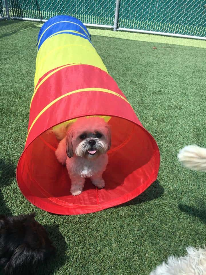 Morkie in agility tunnel at Bayside Pet Resort in Sarasota, FL