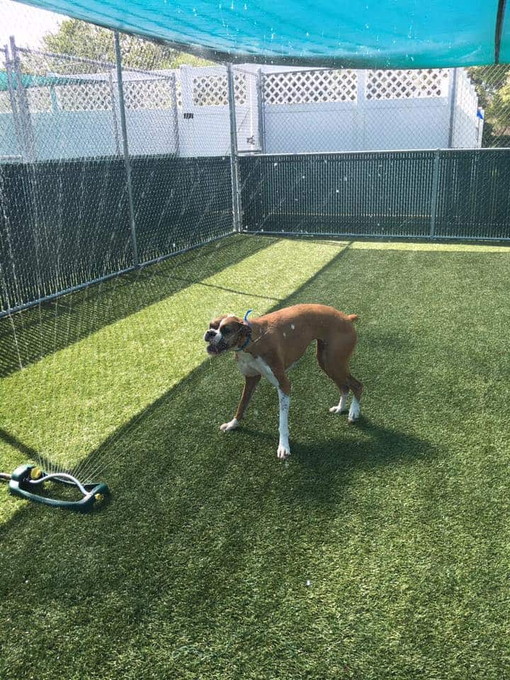 Boxer playing with water sprinkler at Bayside Pet Resort in Sarasota, FL