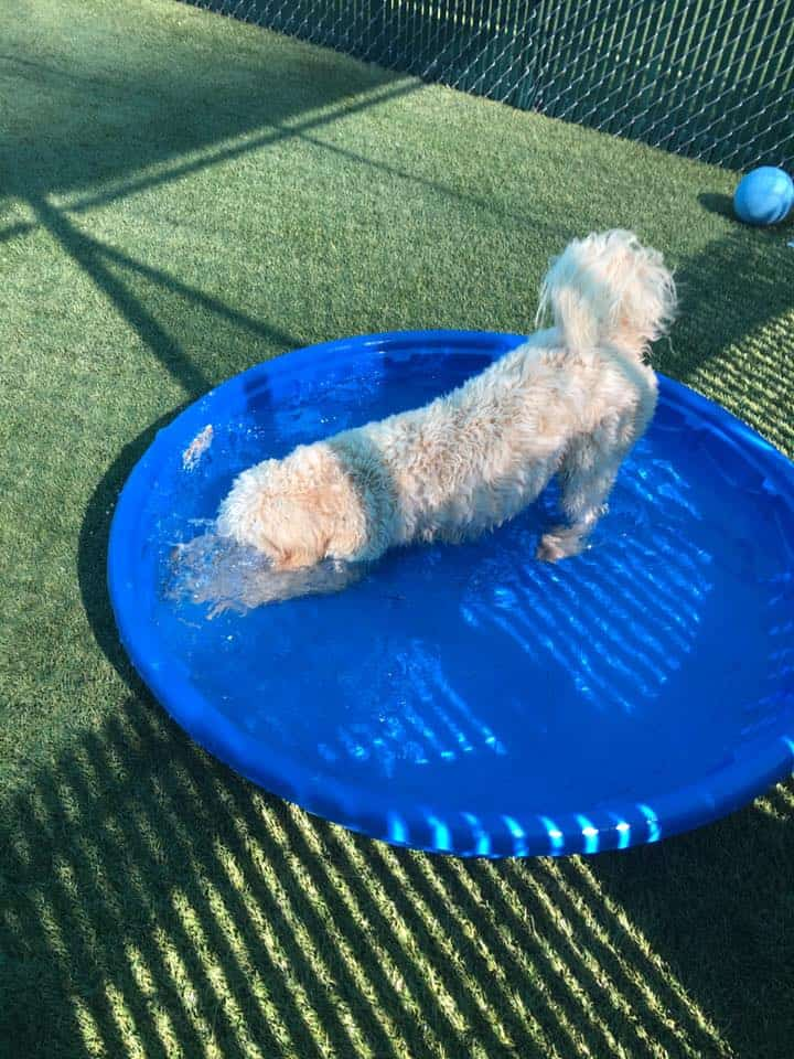 Mini Doodle playing in pool at Bayside Pet Resort in Sarasota, FL