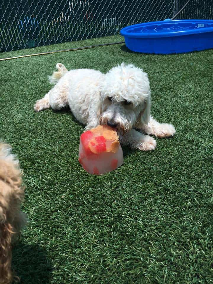 Mini Doodle enjoying popsicle at Bayside Pet Resort in Sarasota, FL