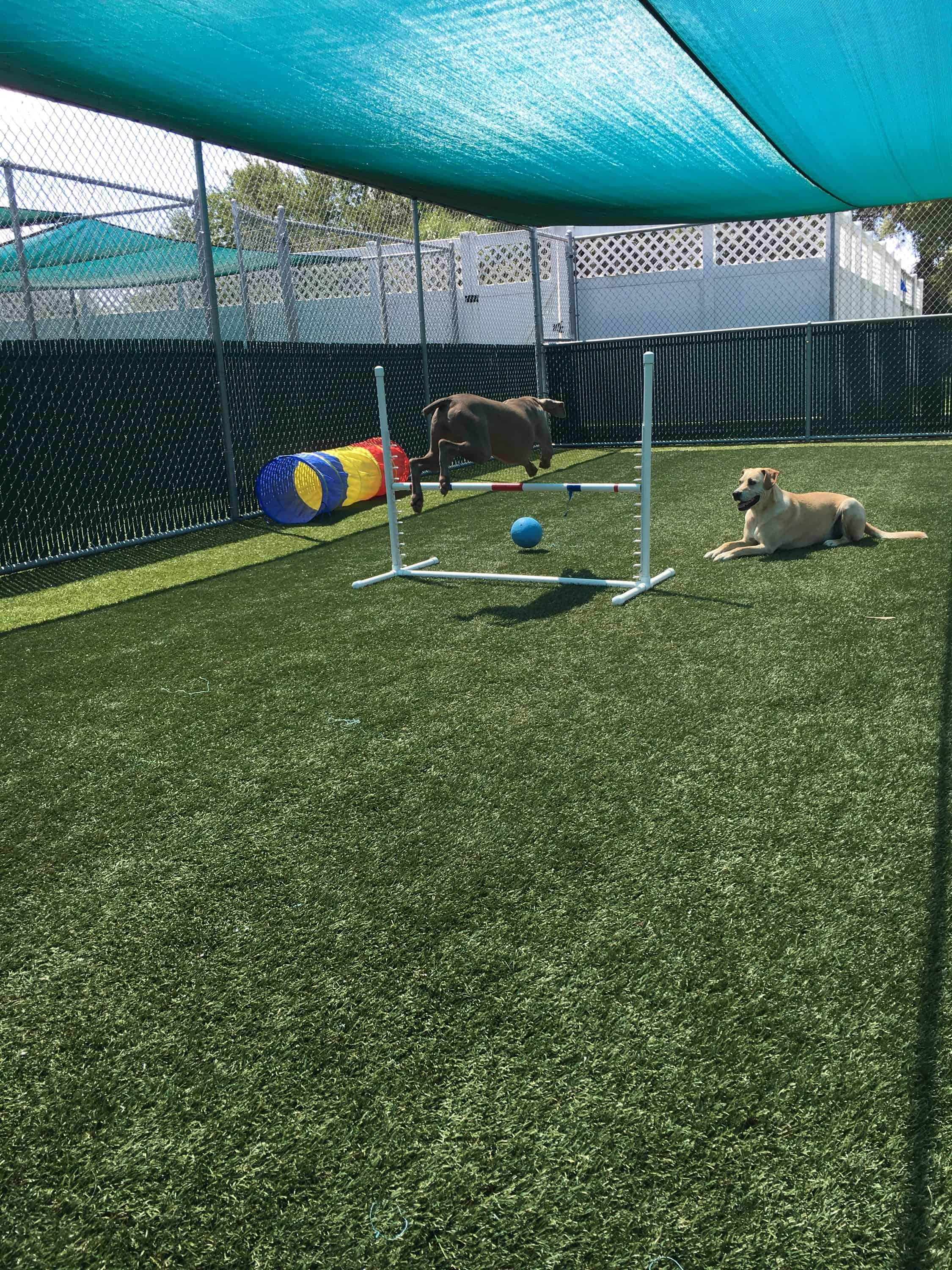 Weimaraner jumping at Bayside Pet Resort in Sarasota, FL