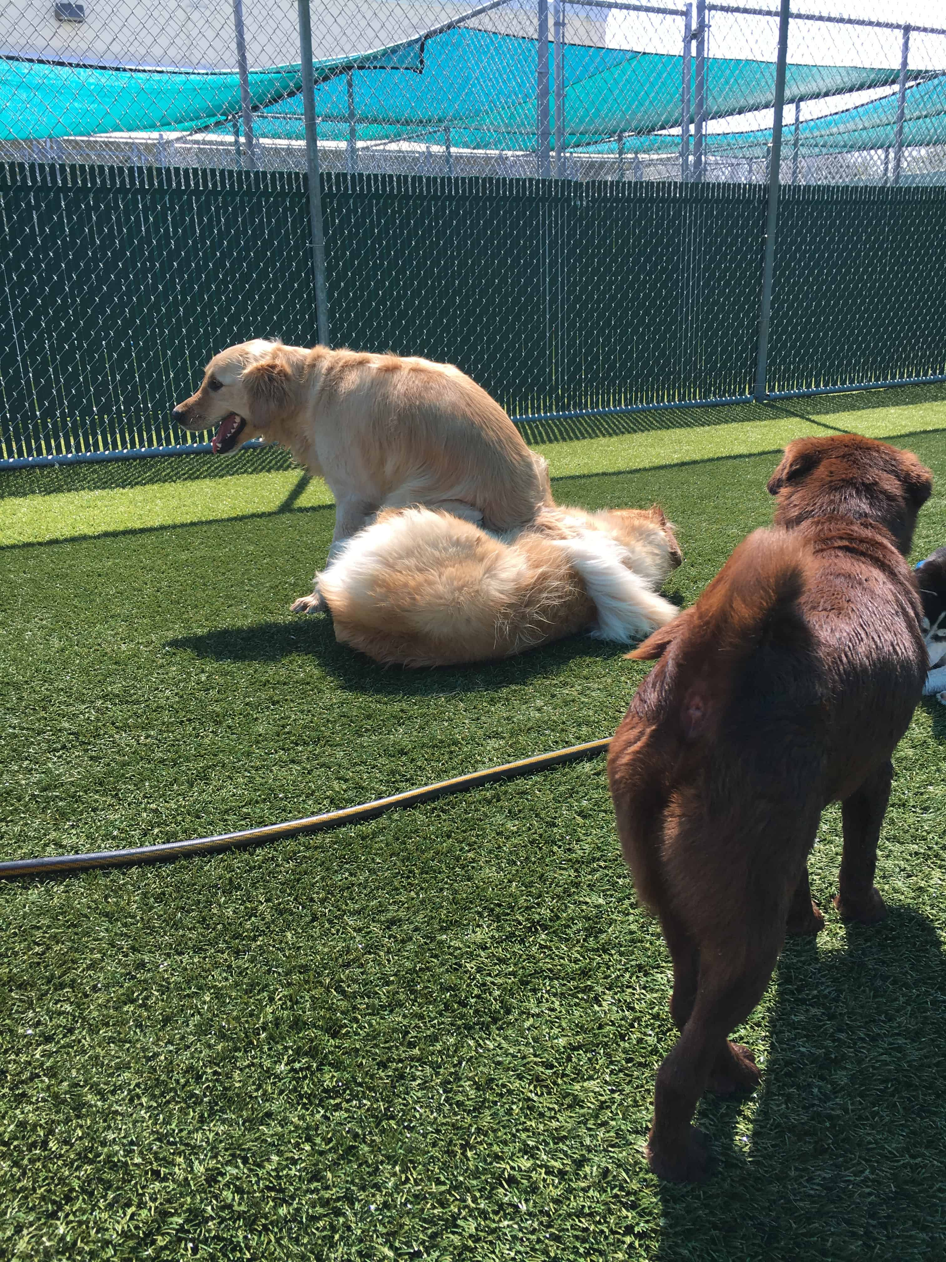 Golden Retriever sitting on his brother at Bayside Pet Resort in Sarasota, FL