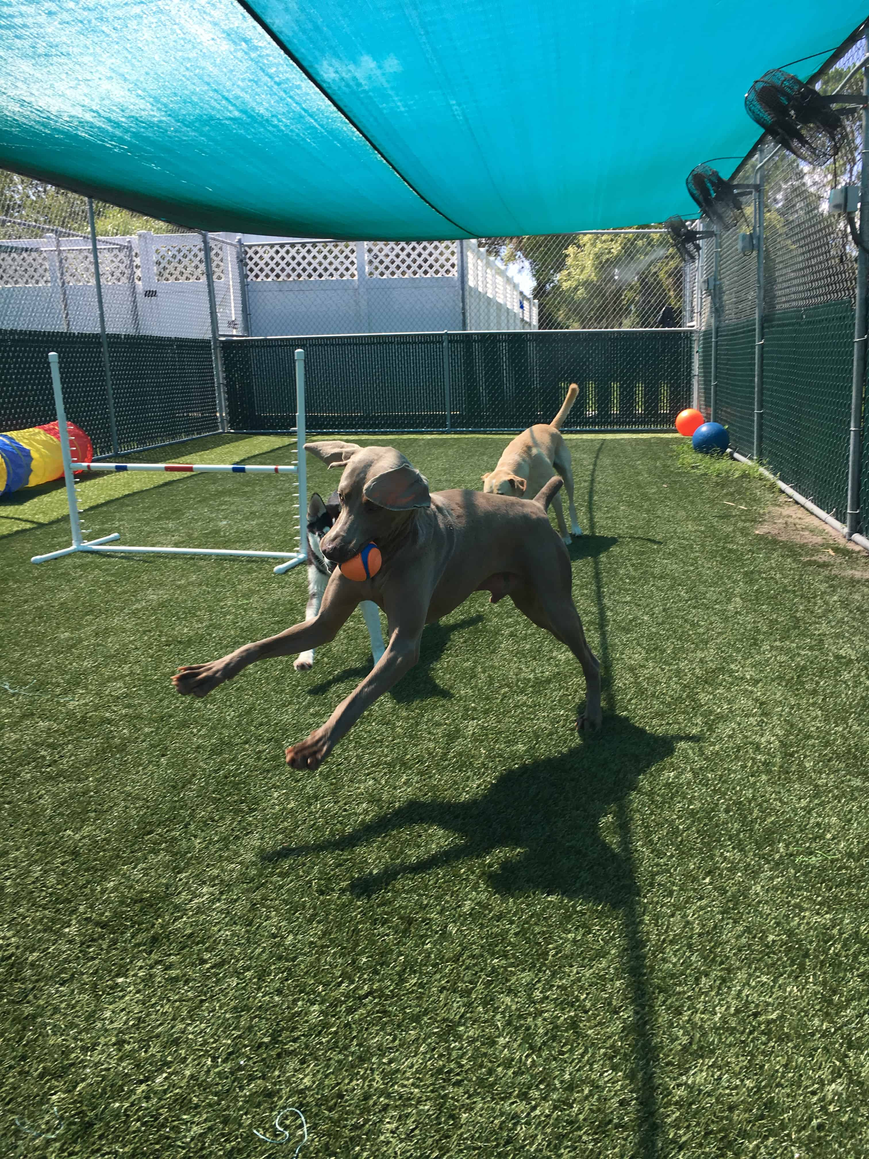Weimaraner running with ball at Bayside Pet Resort in Sarasota, FL