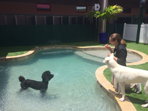 Black Standard Poodle in Pool at Bayside Pet Resort in Osprey, FL