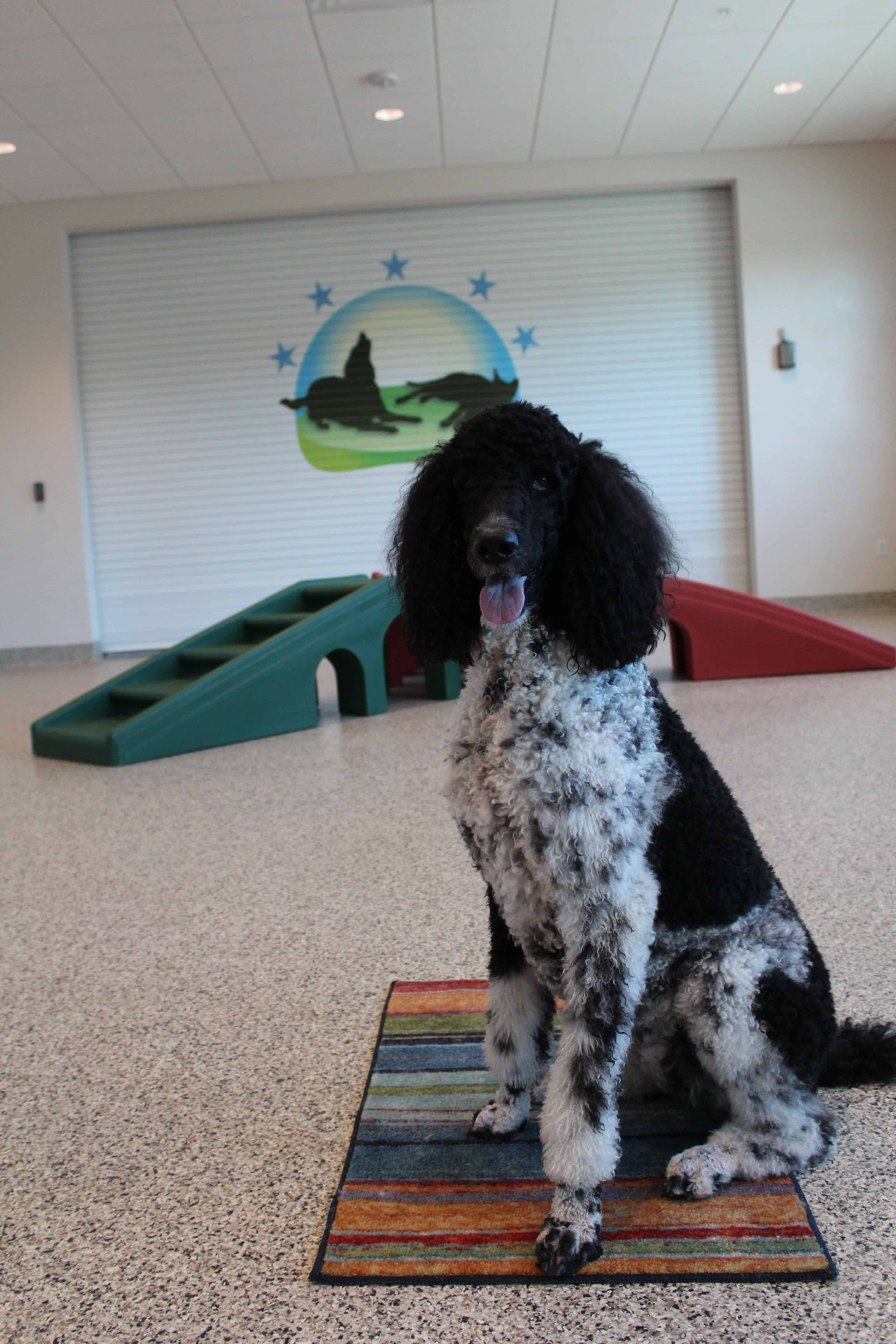 Parti Poodle at Bayside Pet Resort in Osprey, FL