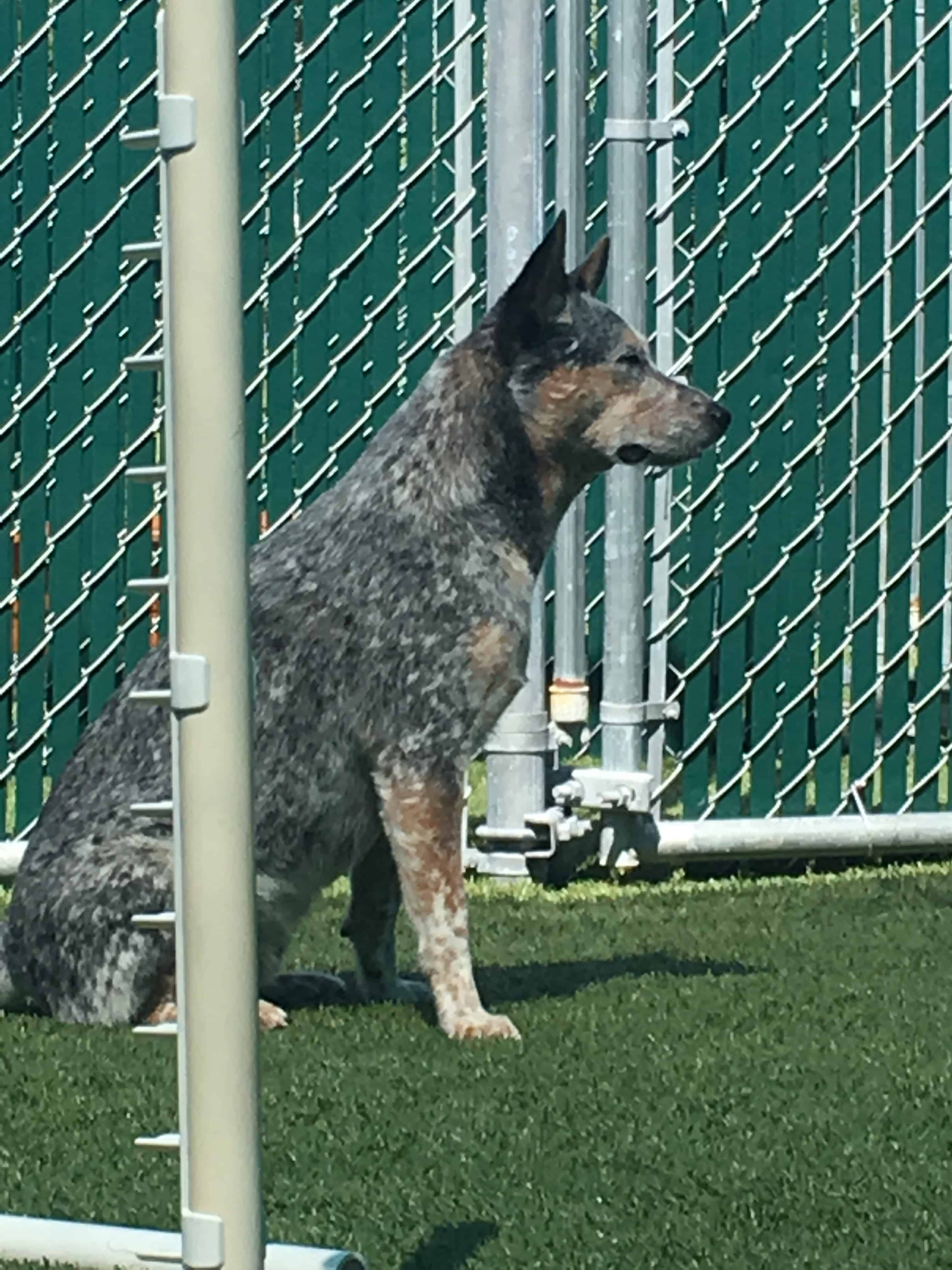 Australian Cattle Dog sleeping at Bayside Pet Resort in Sarasota, FL