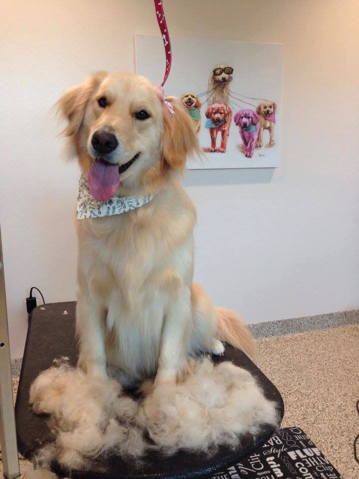 golden retriever de-shed at bayside pet resort of osprey