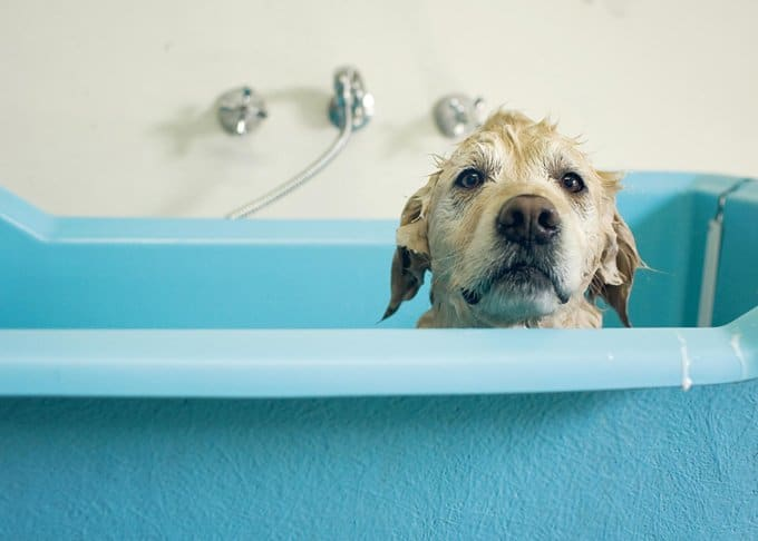 golden retriever dog in blue bath
