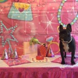 French Bulldog Birthday Party at Bayside Pet Resort