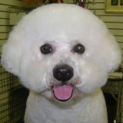 Professional Bichon Dog Grooming