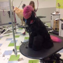 Creative Professional Poodle Dog Grooming