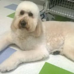 Goldendoodle professionally groomed at Bayside Pet Resort