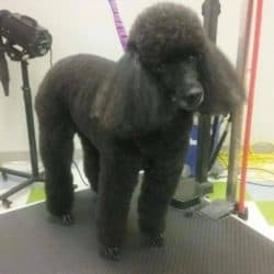 Mini Poodle professionally groomed at Bayside Pet Resort