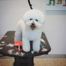 Bichon groomed by professional dog groomer at Bayside Pet Resort of Osprey
