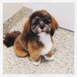 Shih Tzu mix groomed by professional dog groomer at Bayside Pet Resort of Osprey