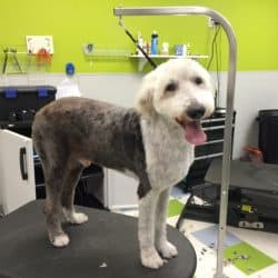 Old English Sheepdog Shave Down