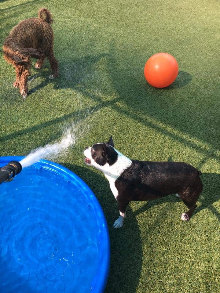 Boston Terrier playing with hose at Bayside Pet Resort in Osprey, FL
