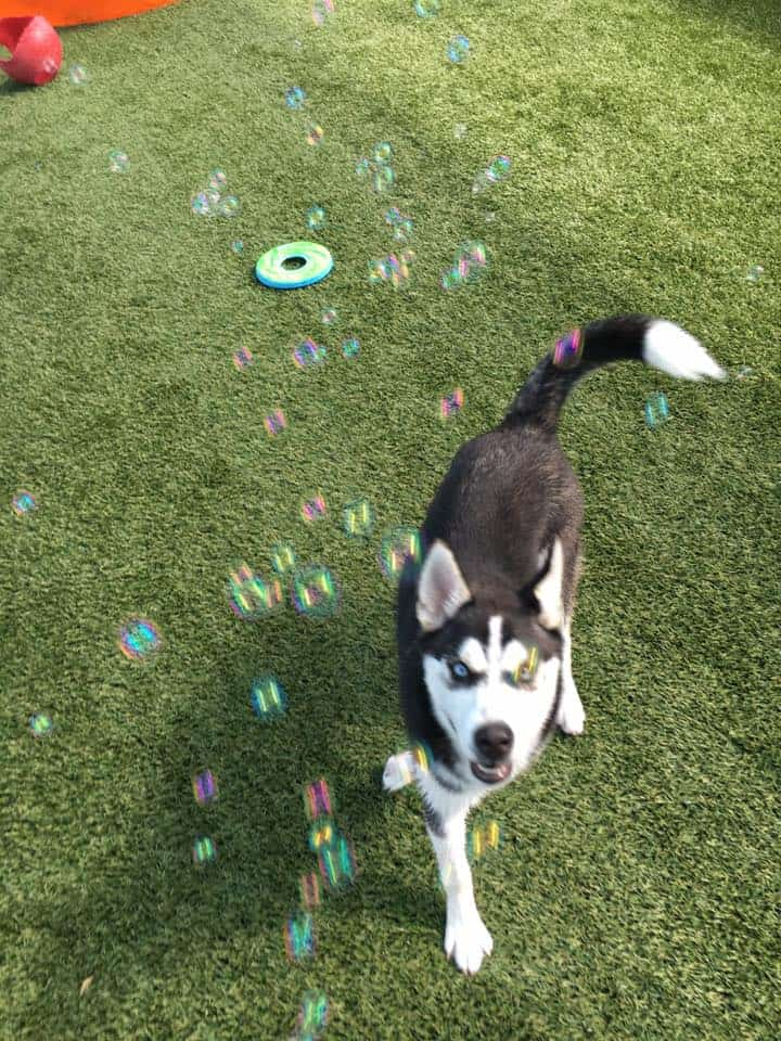 Siberian Husky puppy playing with bubbles at Bayside Pet Resort in Sarasota, FL