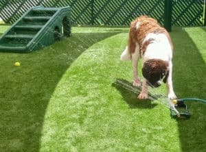 Saint Bernard Puppy Playing With Sprinkler