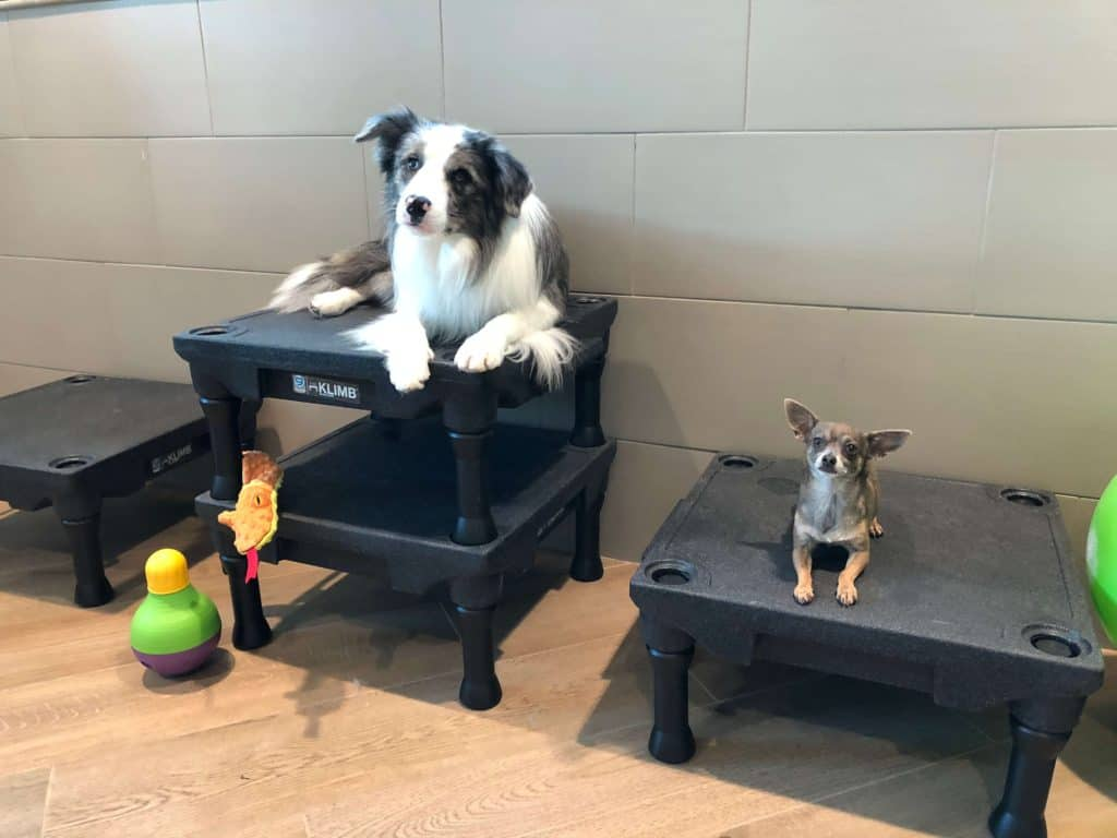 border collie and chihuahua in training at bayside pet resort