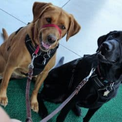 labs in training during day school at bayside pet resort of osprey